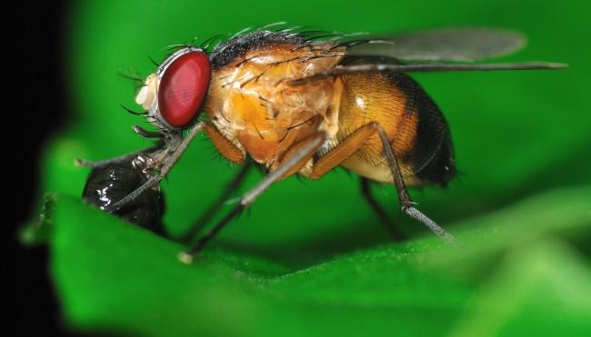 Hausmittel Gegen Obstfliegen fünf hausmittel gegen fruchtfliegen codecheck info