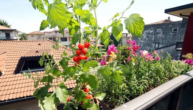 so gedeihen deine eigenen tomaten pr chtig g rtnern auf dem balkon oder im garten. Black Bedroom Furniture Sets. Home Design Ideas