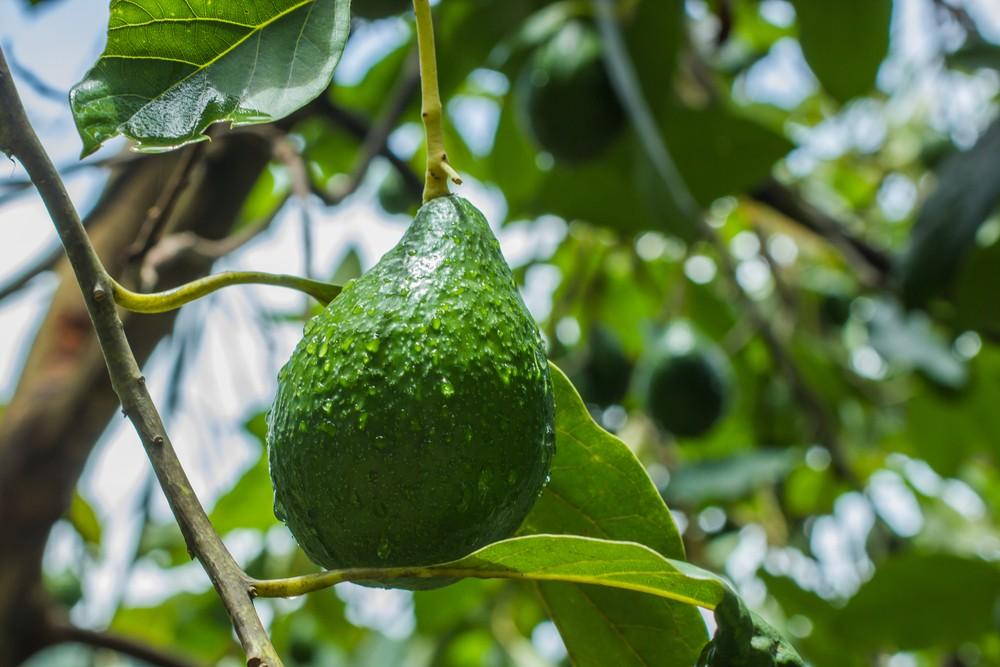 avocados vorteil f r die gesundheit nachteil f r die umwelt begehrte exotische frucht. Black Bedroom Furniture Sets. Home Design Ideas